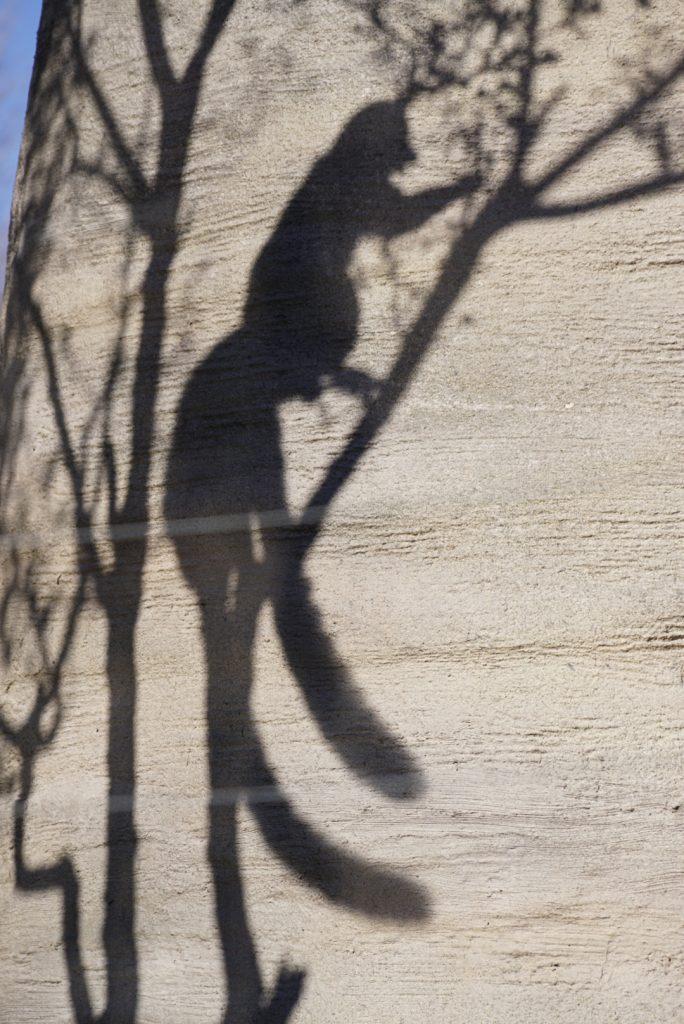 上野動物園ワオキツネザル
