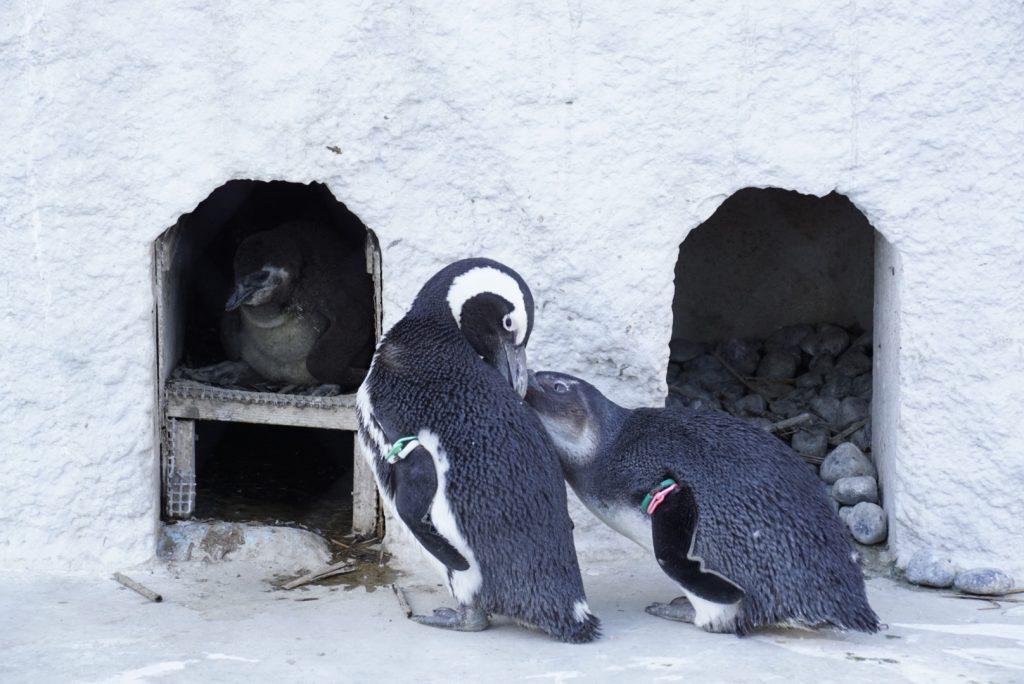 上野動物園ペンギンヒナ