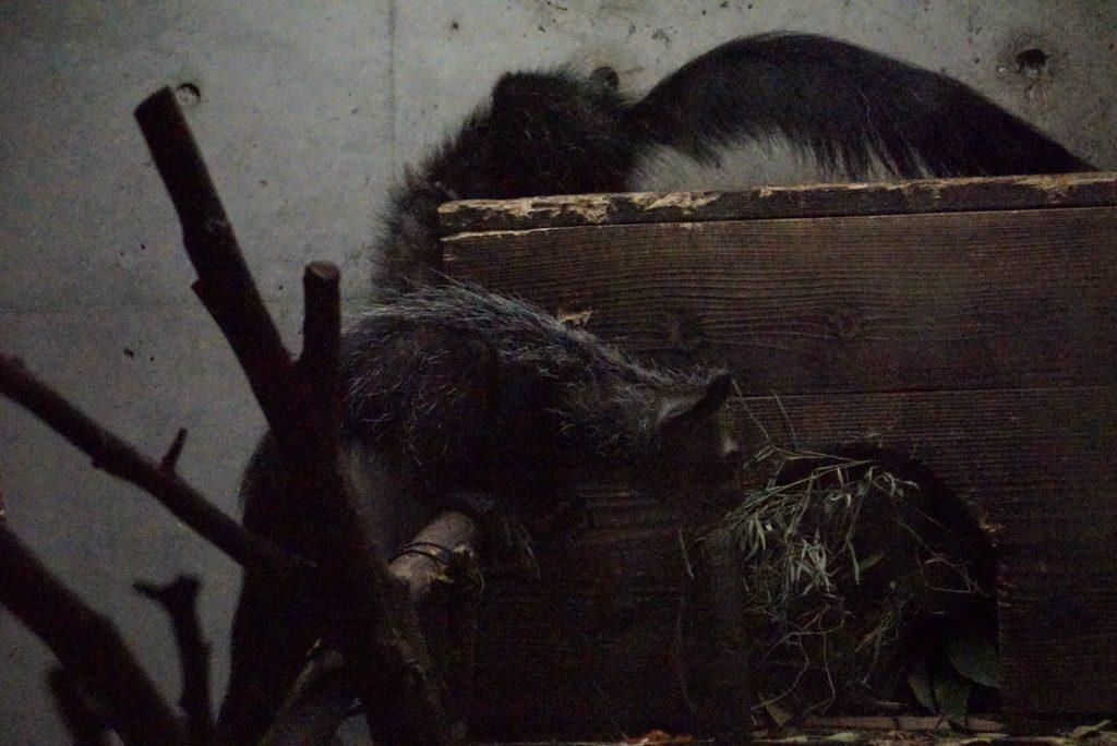 上野動物園アイアイ