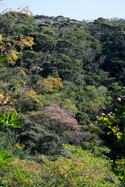 やんばるの森で咲くカンヒザクラ