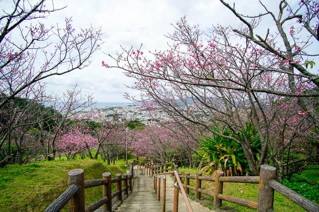 2017年2月4日の名護城公園(名護中央公園)桜の開花状況