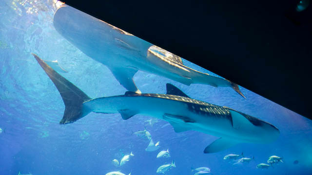 子供と行く!初めての美ら海水族館 どちらがオス、メスでしょうか?