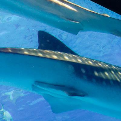 子供と行く!初めての美ら海水族館 写真上:メス、下:オス