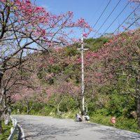 やんばる桜まつり