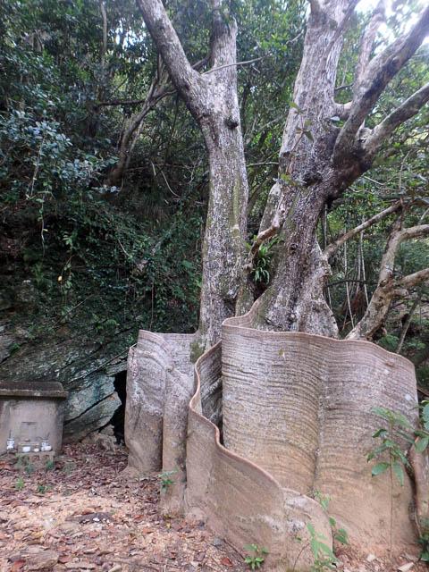 東村天然記念物のサキシマスオウノキ