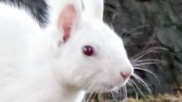 帯広畜産大学の白いエゾリス