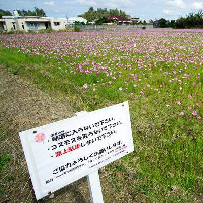 【2018年】名護市羽地の水田ではコスモスが早くも開花!