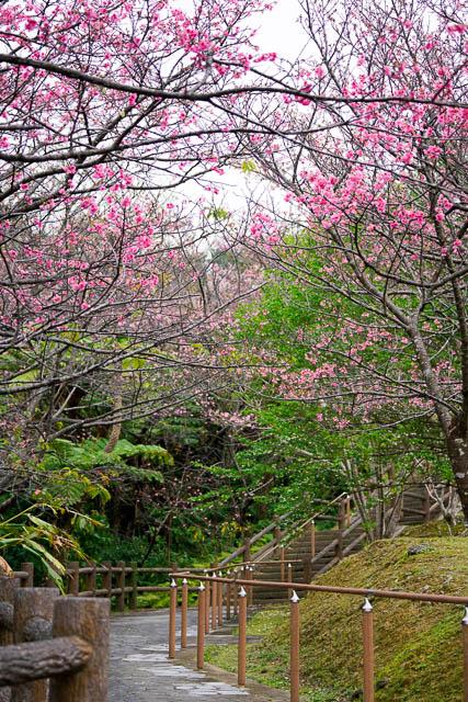 2018/1/21の名護城公園(名護中央公園)桜の開花状況