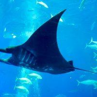 日本初!の「ブラックマンタ」元気です-沖縄美ら海水族館に会いに行こう