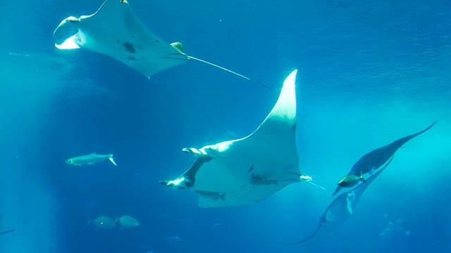 世界初の「ジャイアントマンタ」は世界最大のエイ!-沖縄美ら海水族館に会いに行こう
