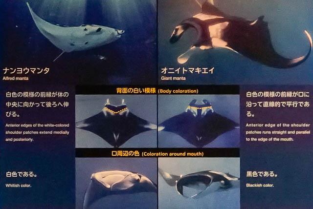 世界初の「ジャイアントマンタ」は世界最大のエイ!-沖縄美ら海水族館に会いに行こう ナンヨウマンタとオニイトマキエイの違い