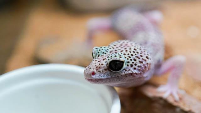 【初めての爬虫類】レオパ(ヒョウモントカゲモドキ)を飼おう-簡単飼育のポイント(飼育編)