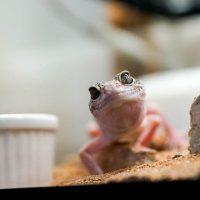 【初めての爬虫類】レオパ(ヒョウモントカゲモドキ)を飼おう-簡単飼育のポイント(準備編)