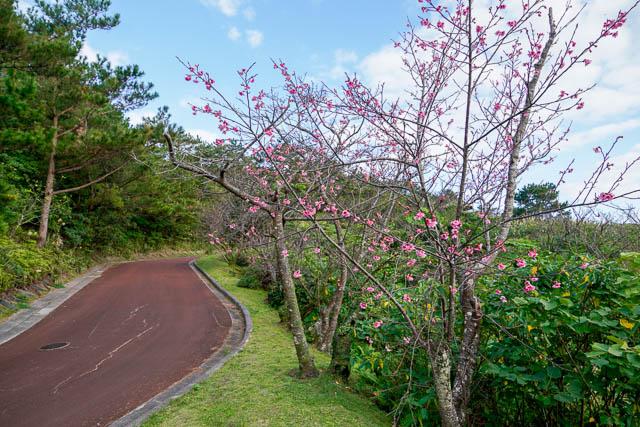 【2019年】第57回名護さくら祭りと直前開花情報