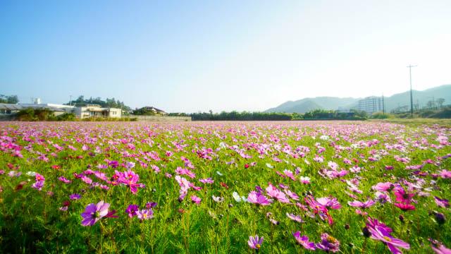 【2019年】名護市羽地のコスモスが見頃です!(1/31開花状況)