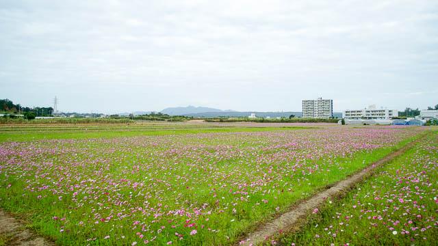 【2019年】名護市羽地のコスモスが見頃です!(2/7開花状況追記)
