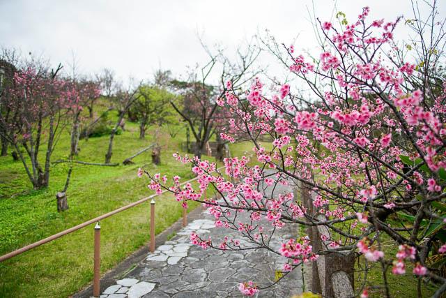 【2019年】名護城(なんぐすく)公園の桜の見ごろは?(2月10日の開花状況)