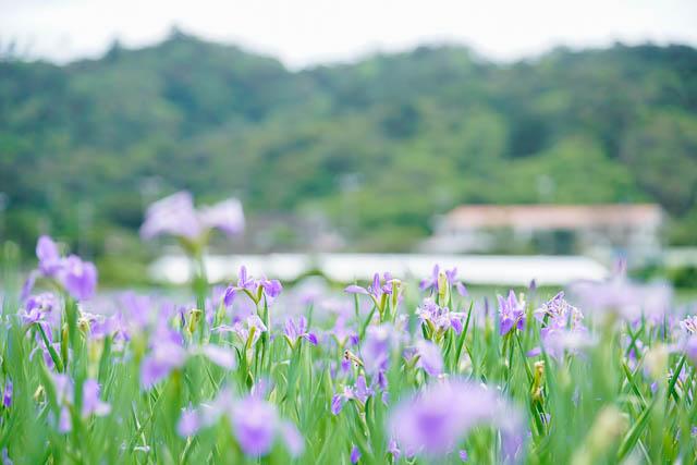 【2019開花状況】大宜味村喜如嘉のオクラレルカ開花状況(3月30日)