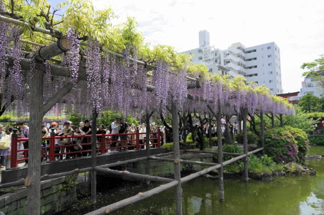 【令和元年5月1日】亀戸天神参拝-藤まつり開花状況は?船橋屋くず餅も紹介