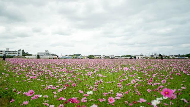 【2020年】名護市羽地(田井等・川上)のコスモス開花情報-川上満開おすすめです!