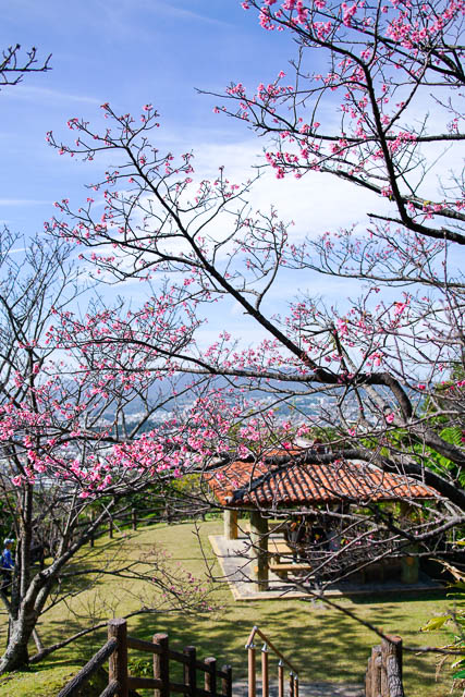 【2020年】名護さくら祭りと桜の開花状況(1/25)