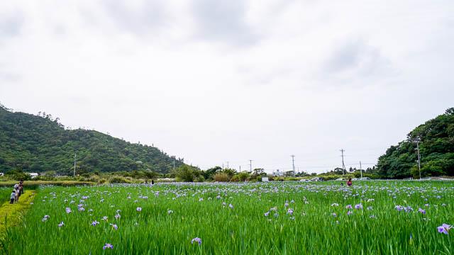 【2020年】大宜味村喜如嘉のオクラレルカ開花状況(4月3日)